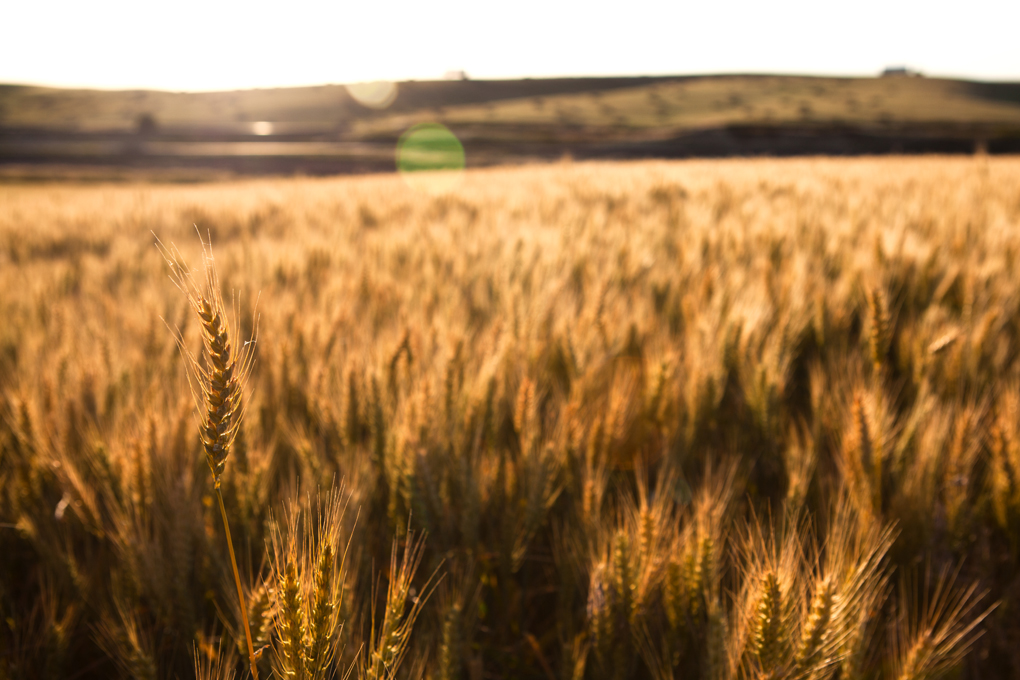 Palouse Wheat - Spokane Dentists - Eric Foss Photography